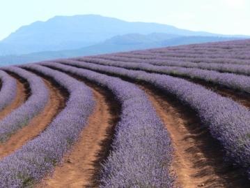 Lavenderfield - Tasmania